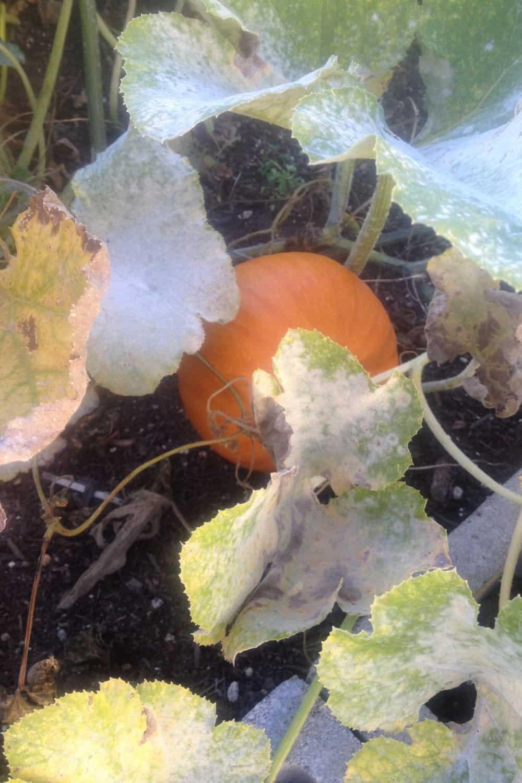 Mildew in the Garden